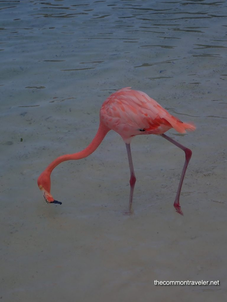 Visiting Flamingo Beach in Aruba, tips featured by top affordable travel blog, The Common Traveler: Flamingo Beach flamingo eating