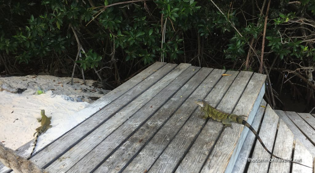 Visiting Flamingo Beach in Aruba, tips featured by top affordable travel blog, The Common Traveler: iguanas climbing on boards