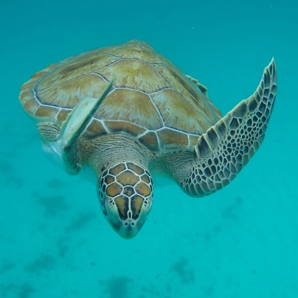 Unique Things to Do in Barbados on a Port Day featured by top US cruise blog, The Common Traveler: turtle in Caribbean in Barbados