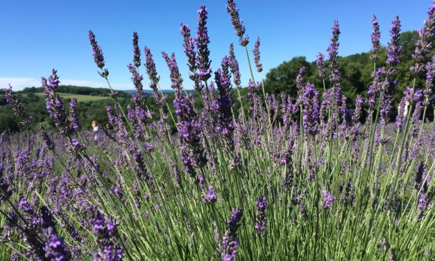 All All About The Bloom – Hope Hill Lavender Farm