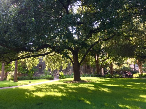 large tree on Alamo grounds