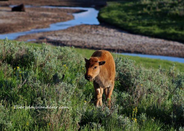 baby animal in Yellowstone