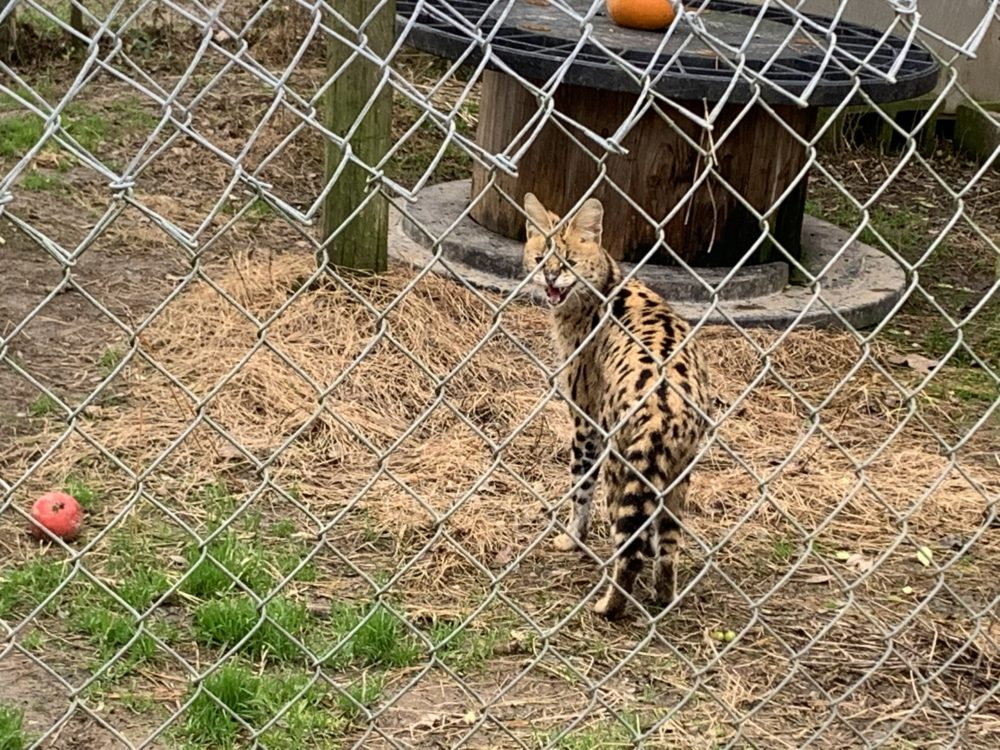 a wild serval in an enclosure