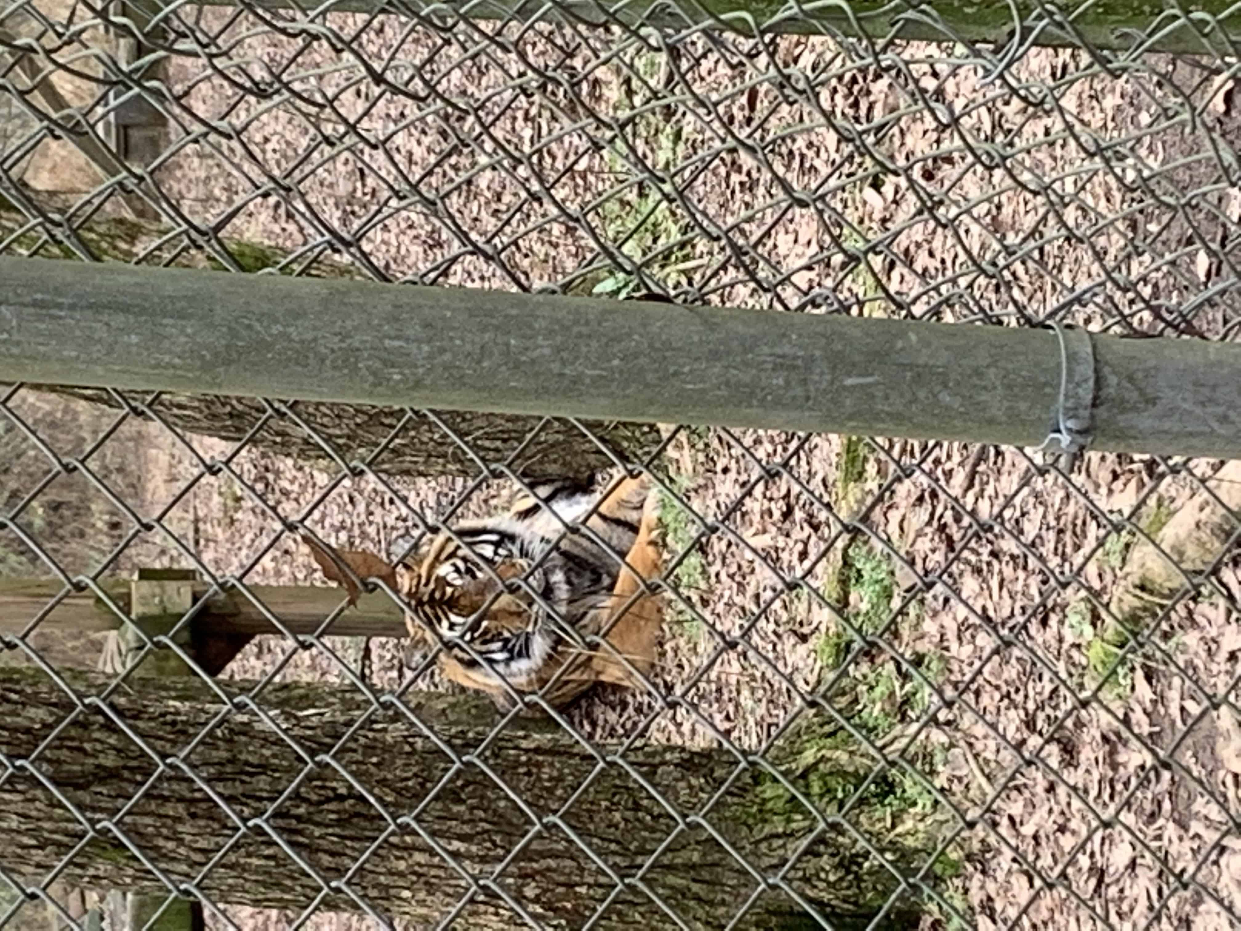 tiger facing the camera