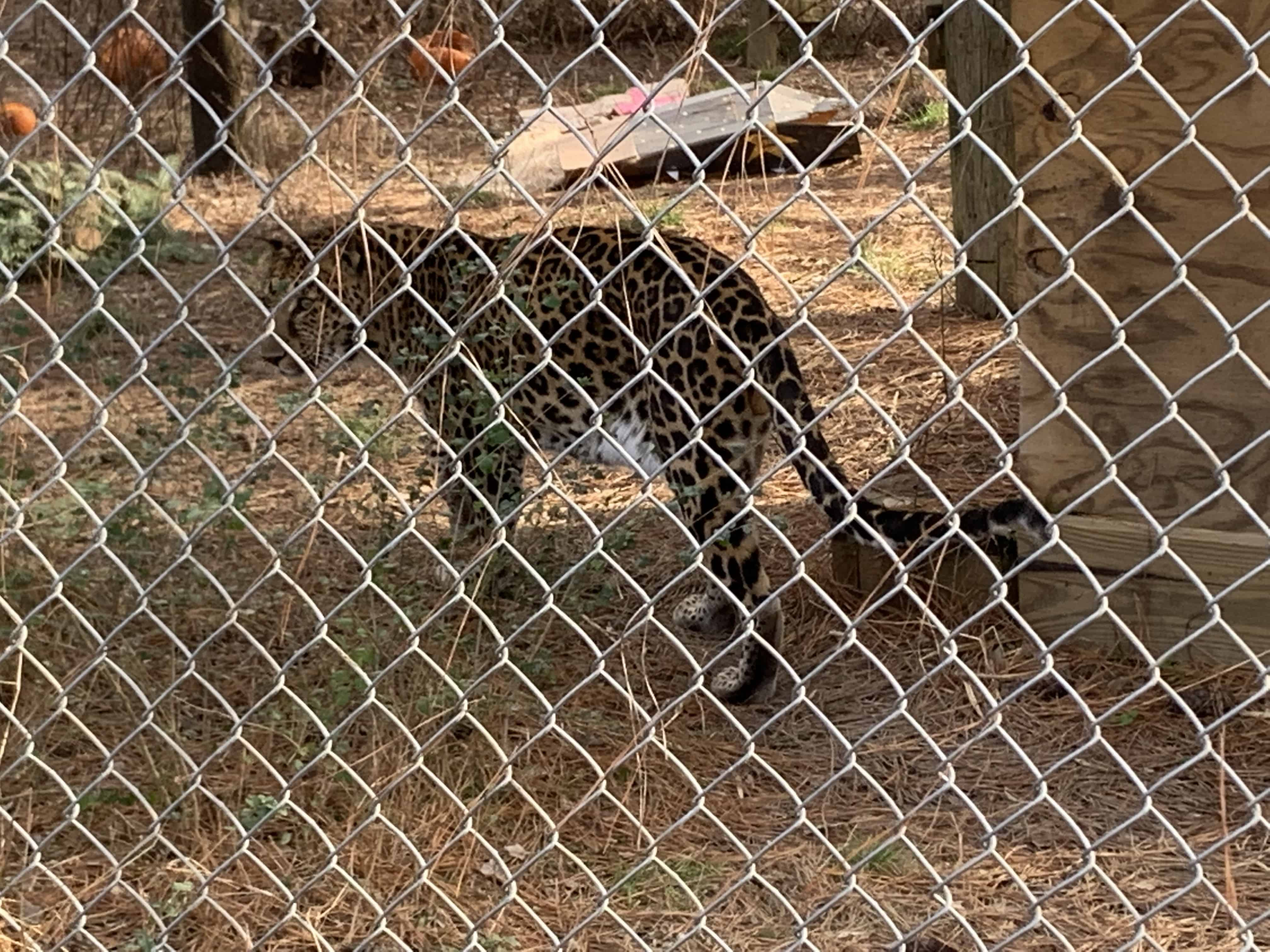 leopard behind wire fence