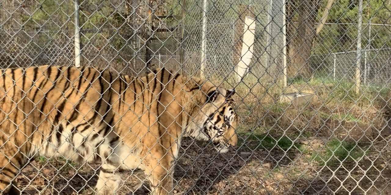 Tigers in North Carolina!