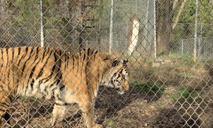 Tigers in North Carolina!
