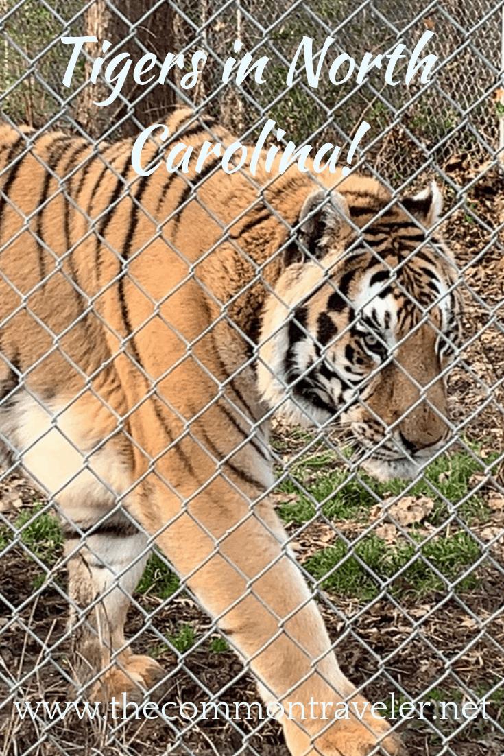Visit the Carolina Tiger Rescue in Pittsboro, North Carolina, USA. #tigers #visitnc