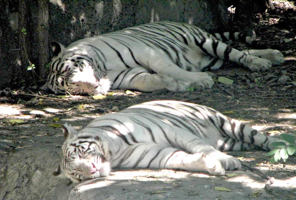 two white tigers resting at the Beijing Zoo