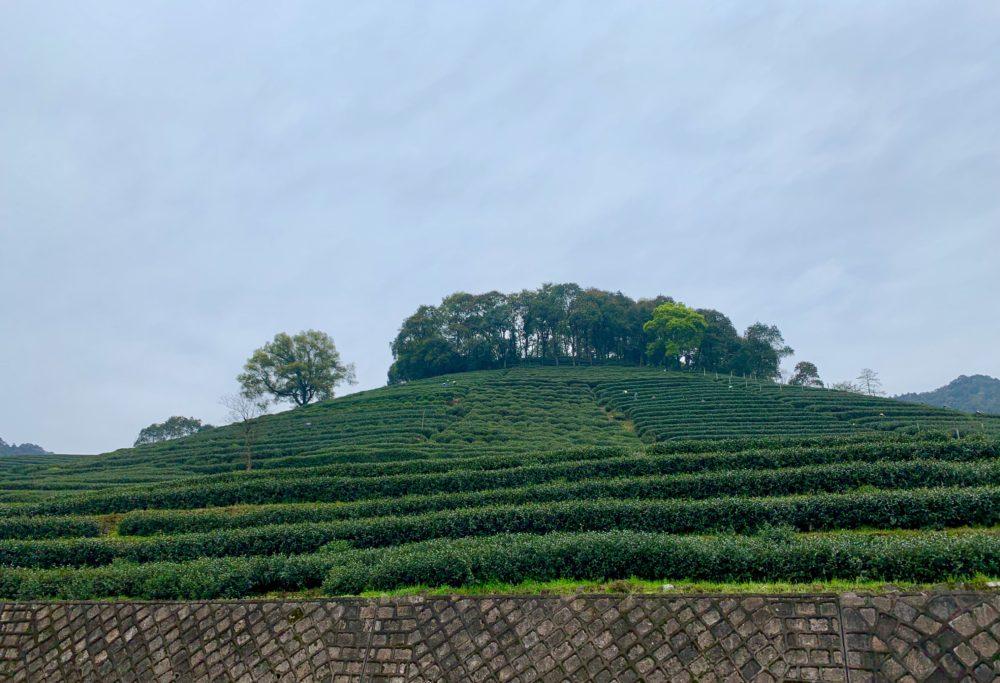 tea bushes on terraces along side of mountain