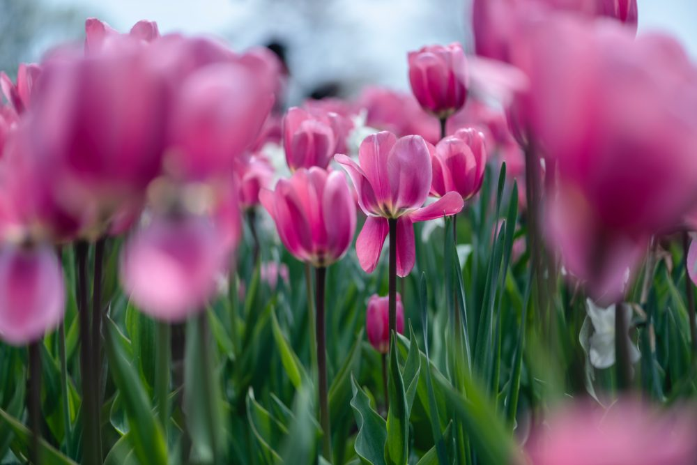 pink tulips in a field up close
