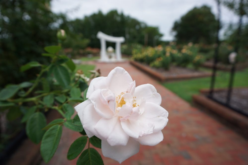 rose in front of white marble water feature in Wilson Rose Garden