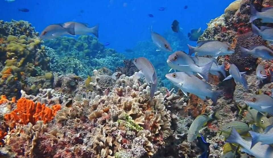 The Best Caribbean Cruise Shore Excursions to do on Port Day featured by top cruise blog, The Common Traveler: image of fish on coral reef in Cozumel