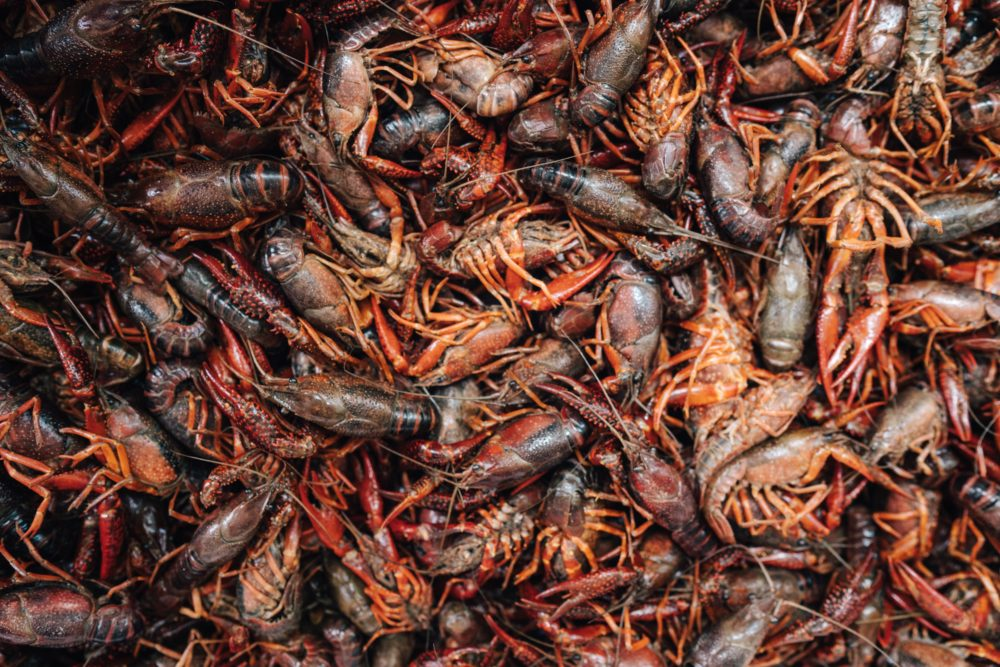 lots and lots of crawfish