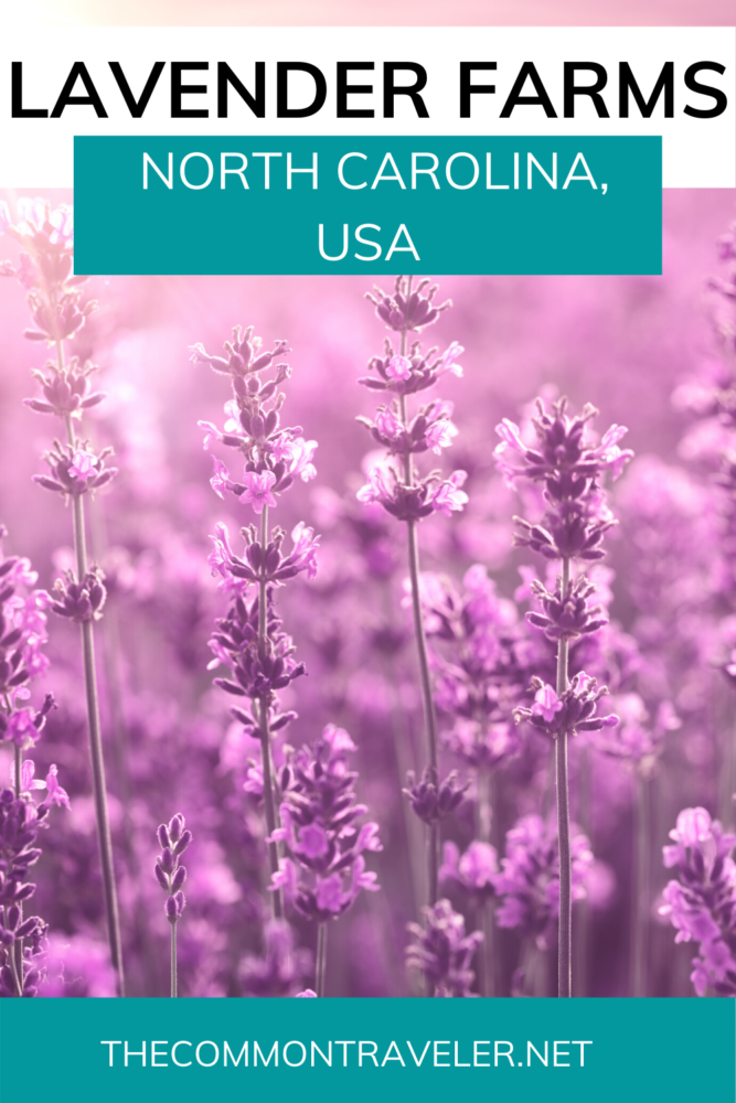 Look no further for the ultimate list of lavender farms in NC! The Common Traveler shares tips on best time to visit and etiquette. Just click here!