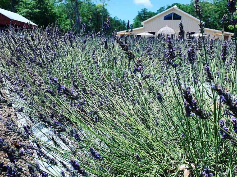 Best Lavender Farms in NC to visit featured by top NC blog, The Common Traveler: Lavender Oak Farms, Chapel Hill