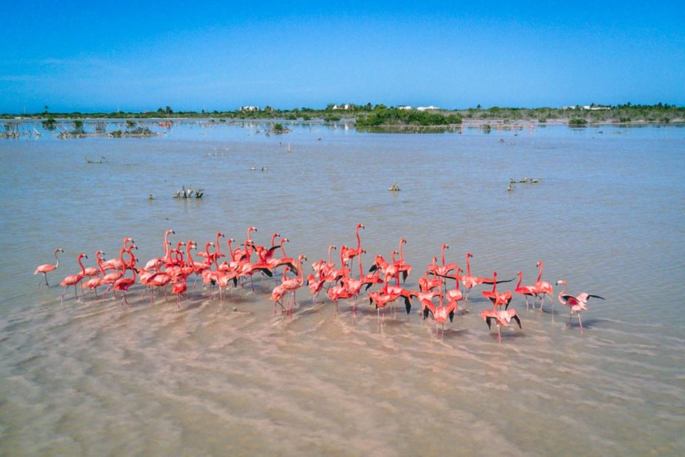 16 BEST PLACES TO VISIT IN MEXICO featured by top travel blog, The Common Traveler: image of flock of flamingos in Progreso in Mexico - one of the best places to go in Mexico