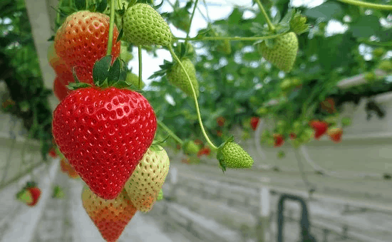TOP 5 BEST FOOD CITIES IN THE WORLD FOR FOODIES IN  2020 featured by top travel blog, The Common Traveler: image of strawberries on vine