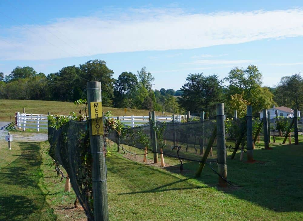 THE 7 BEST NORTH CAROLINA WINE TRAILS TO VISIT featured by top NC blog, The Common Traveler: NC merlot plants