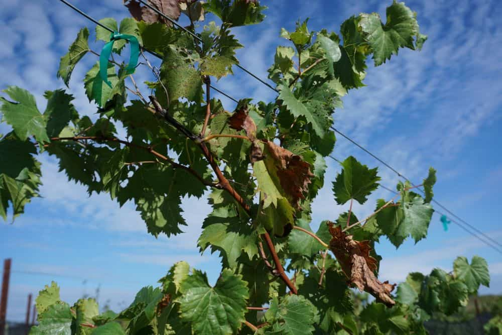 THE 7 BEST NORTH CAROLINA WINE TRAILS TO VISIT featured by top NC blog, The Common Traveler: NC vineyard plant closeup