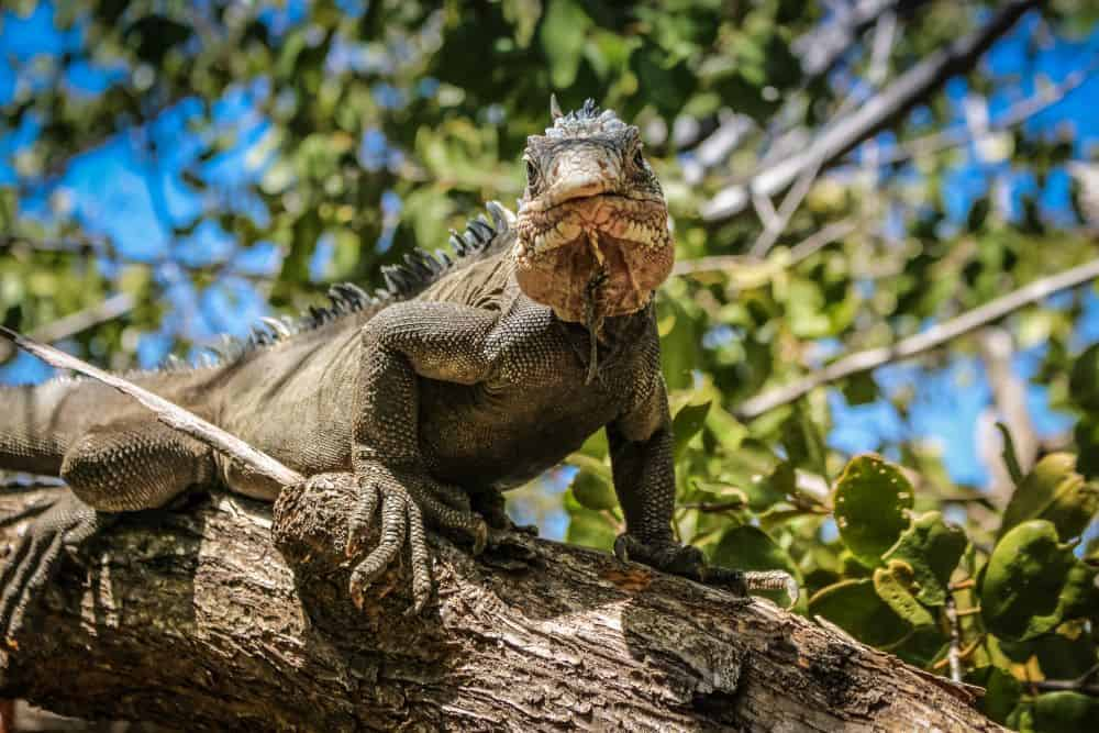 Visiting Flamingo Beach in Aruba, tips featured by top affordable travel blog, The Common Traveler: iguana on tree branch