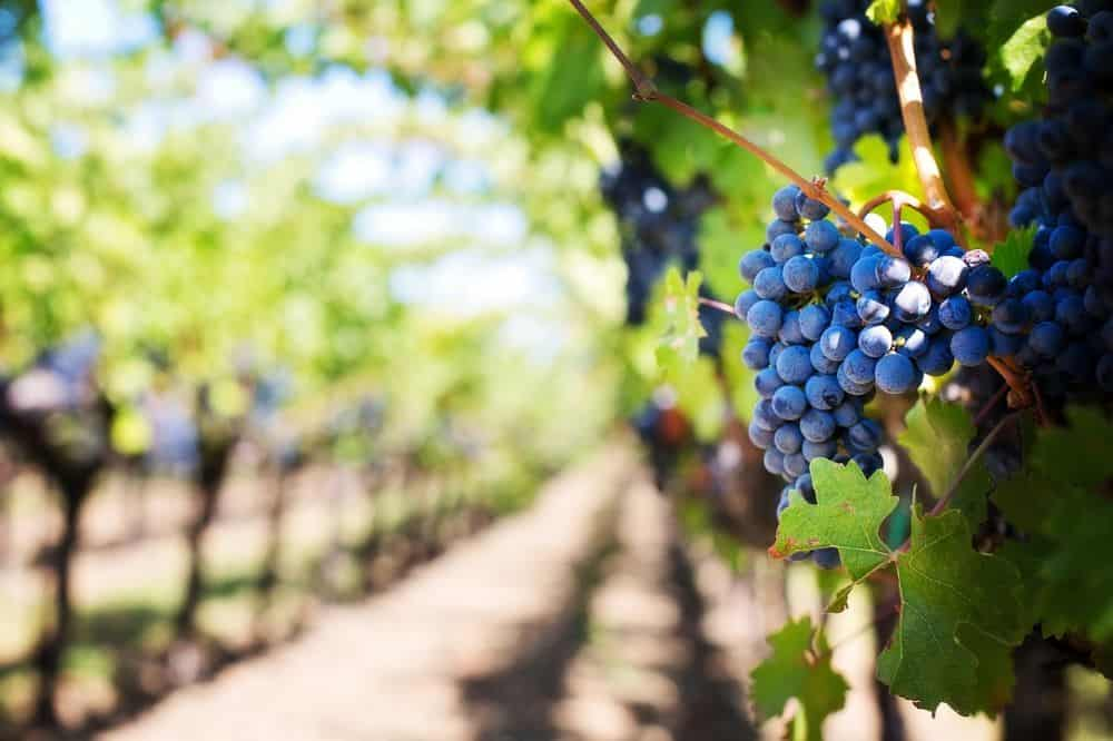 THE 7 BEST NORTH CAROLINA WINE TRAILS TO VISIT featured by top NC blog, The Common Traveler: purple grapes on vineyard vines