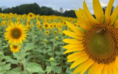 The Best Sunflower Fields in NC to Visit – 2021!