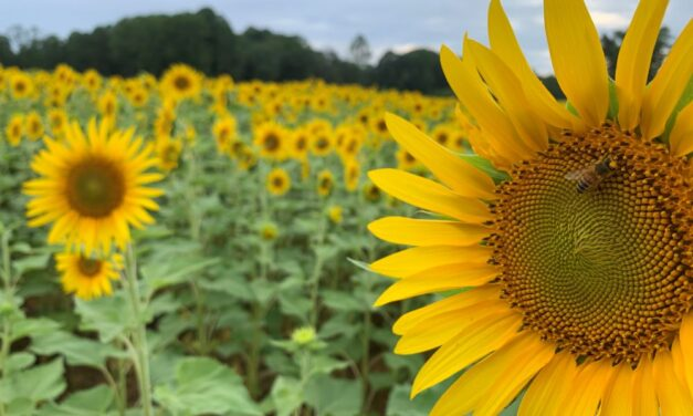 The Best Sunflower Fields in NC to Visit