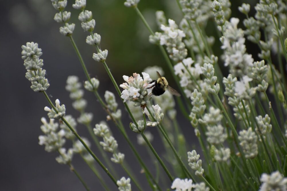 Lavender Farms in Virginia | The Common Traveler | Image: bee on white lavender flowers | Lavender Farms in Virginia by popular US travel blog, The Common Traveler: image of a bee on some white lavender.