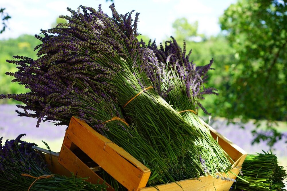 Lavender Farms in Virginia | The Common Traveler | Image: bundles of lavender stems in wooden crate |Lavender Farms in Virginia by popular US travel blog, The Common Traveler: image of bundles of lavender in a wooden crate.