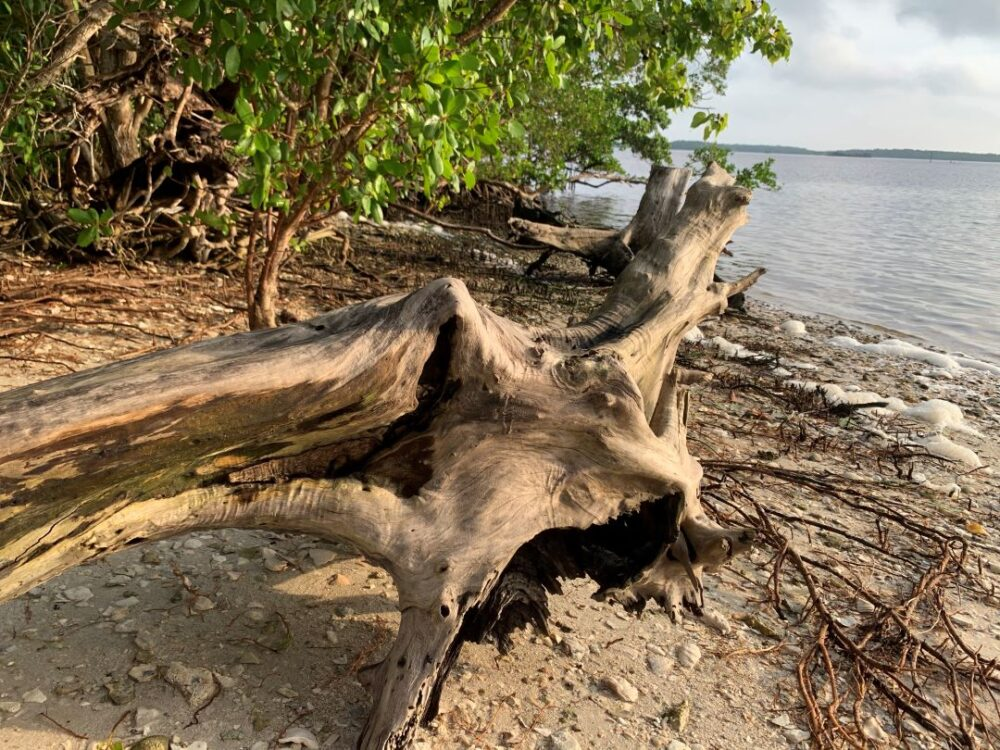Everglades Vacation Guide featured by top US travel blogger, The Common Traveler:  Image of tree stump on shores of Chokoloskee Bay, Florida, USA
