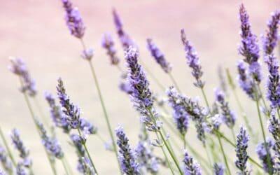 SC Lavender Farms to Visit