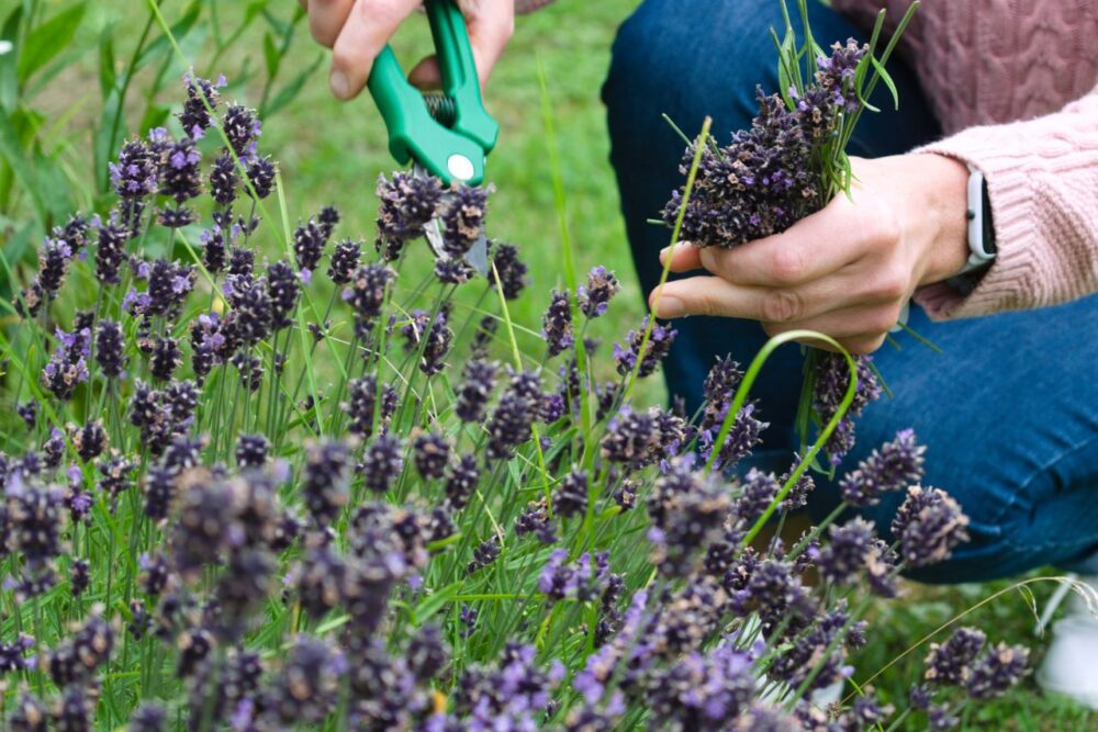SC Lavender Farms to Visit | The Common Traveler | image: close up of hands and shears cutting lavender |Lavender Farms by popular US travel blog, The Common Traveler: image of a woman cutting lavender sprigs.