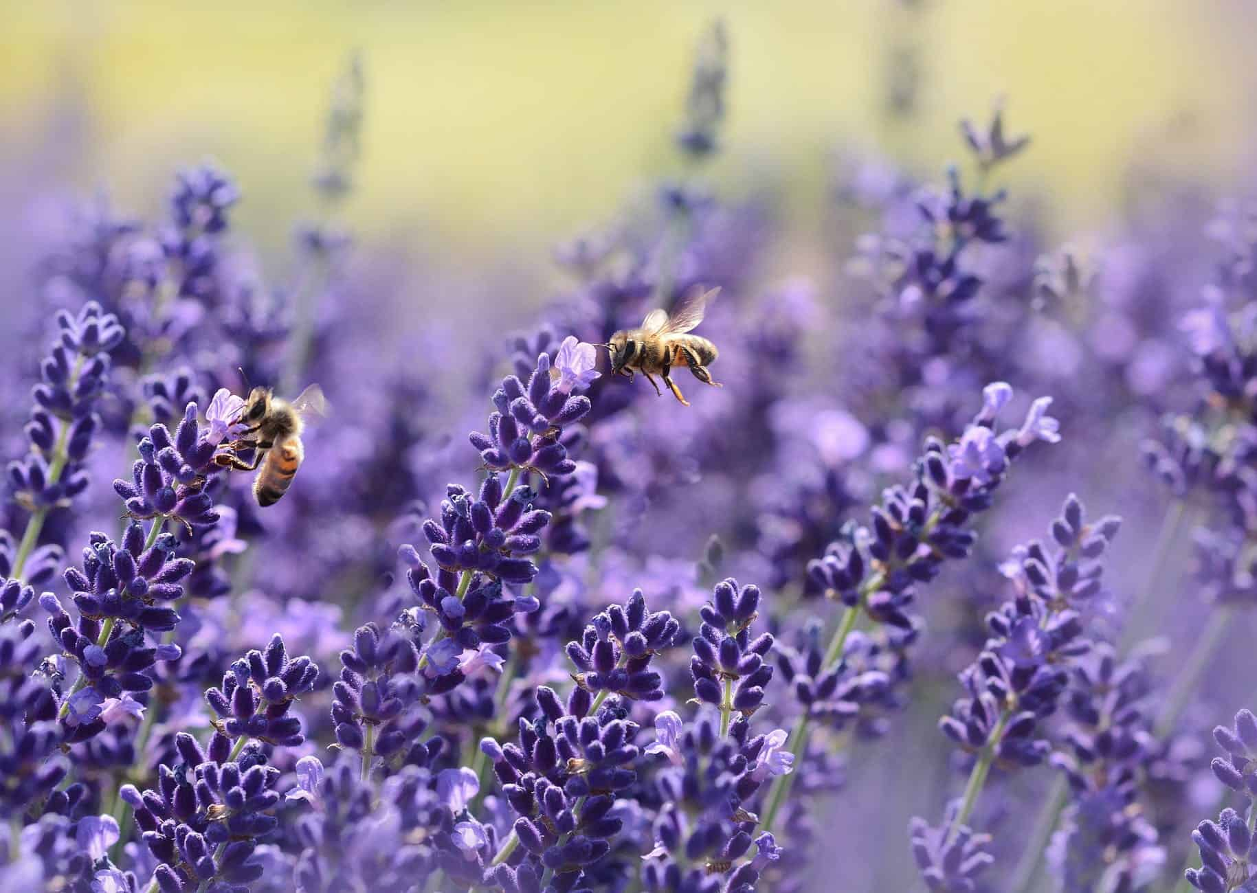 SC Lavender Farms to Visit | The Common Traveler | image: bees on purple flower | Lavender Farms by popular US travel blog, The Common Traveler: image of bees on lavender flowers.