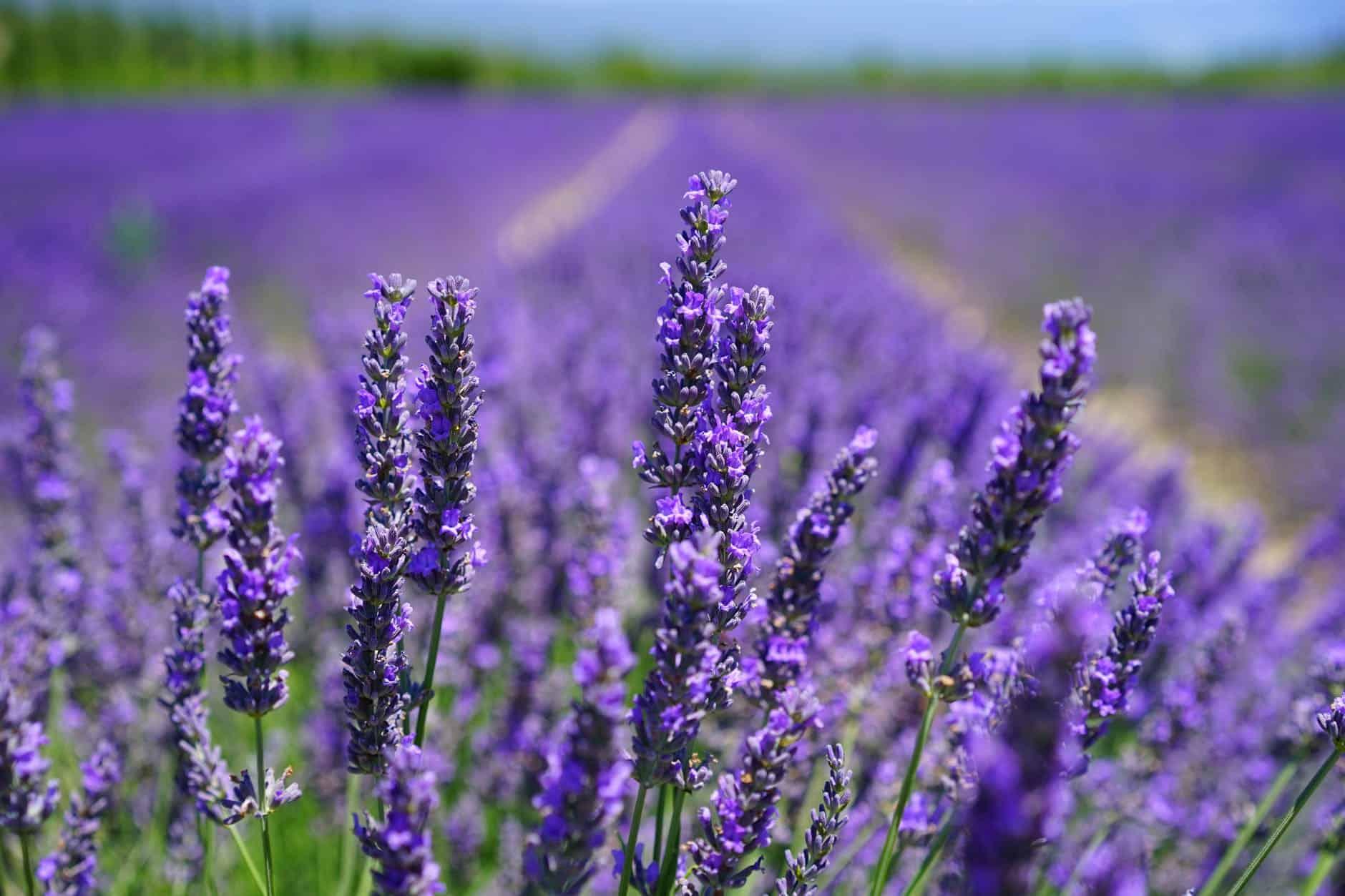 Lavender Farms in Virginia | The Common Traveler purple petal flowers focus photograph |Lavender Farms in Virginia by popular US travel blog, The Common Traveler: image of purple lavender.